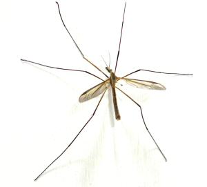 Attack of the Crane Fly